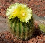 Parodia warasii photo