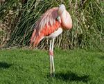 Phoenicopterus chilensis photo