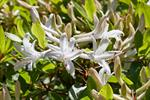 Rhododendron viscosum photo