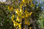 Sophora microphylla photo