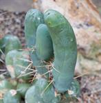Trichocereus bridgesii photo