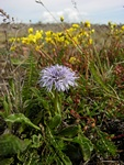 Globulaire, Marguerite bleue (Globularia vulgaris) photo