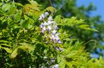 Glycine de Chine (Wisteria sinensis) photo