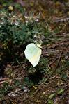 Gonepteryx cleopatra photo