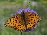 Grand Nacré (Argynnis aglaja) photo