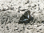 Grand Sylvain (Limenitis populi) photo