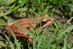Grenouille agile (Rana dalmatina) photo