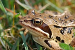 Grenouille des champs (Rana arvalis) photo
