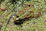 Grenouille rieuse (Rana ridibunda) photo