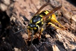 Guêpe commune (Paravespula vulgaris) photo