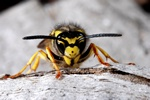 Guêpe germanique (Paravespula germanica) photo