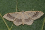 Idaea aversata photo