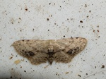 Idaea dimidiata photo