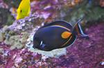 Acanthurus achilles photo