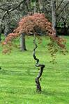 Acer palmatum (cv Ornatum) photo