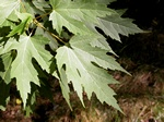 Acer saccharinum photo