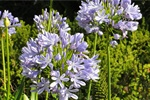 Agapanthus africanus photo