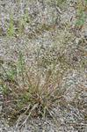 Agrostis vinealis photo