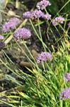 Allium senescens ssp. montanum photo