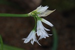 Allium triquetrum photo