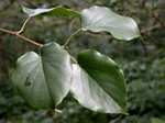 Alnus cordata photo