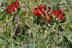 Anthyllis vulneraria var. coccinea photo