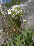 Arabis caucasica photo
