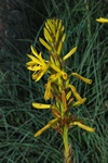 Asphodeline lutea photo