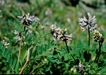 Astragalus norvegicus photo