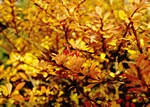 Berberis thunbergii photo