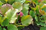 Bergenia crassifolia photo