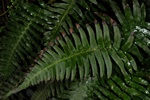 Blechnum occidentale photo