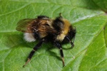 Bombus bohemicus photo