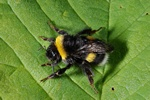 Bombus lucorum photo