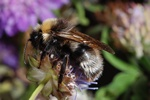 Bombus norvegicus photo