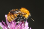 Bombus pascuorum ssp. gotlandicus photo