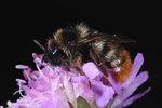 Bombus rupestris photo