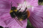 Bombus soroeensis photo