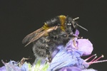 Bombus subterraneus photo