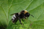 Bombus sylvestris photo
