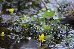 Caltha palustris var. radicans photo