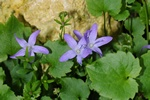 Campanula poscharskyana photo