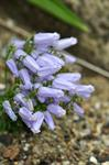Campanula zoysii photo