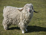 Capra hircus (Mohair) photo