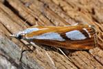 Catoptria permutatellus photo