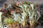 Cladonia pleurota photo