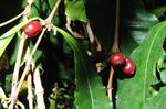 Coffea pierrei photo