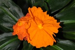 Costus igneus photo