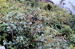 Cotoneaster niger photo
