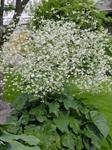 Crambe cordifolia photo